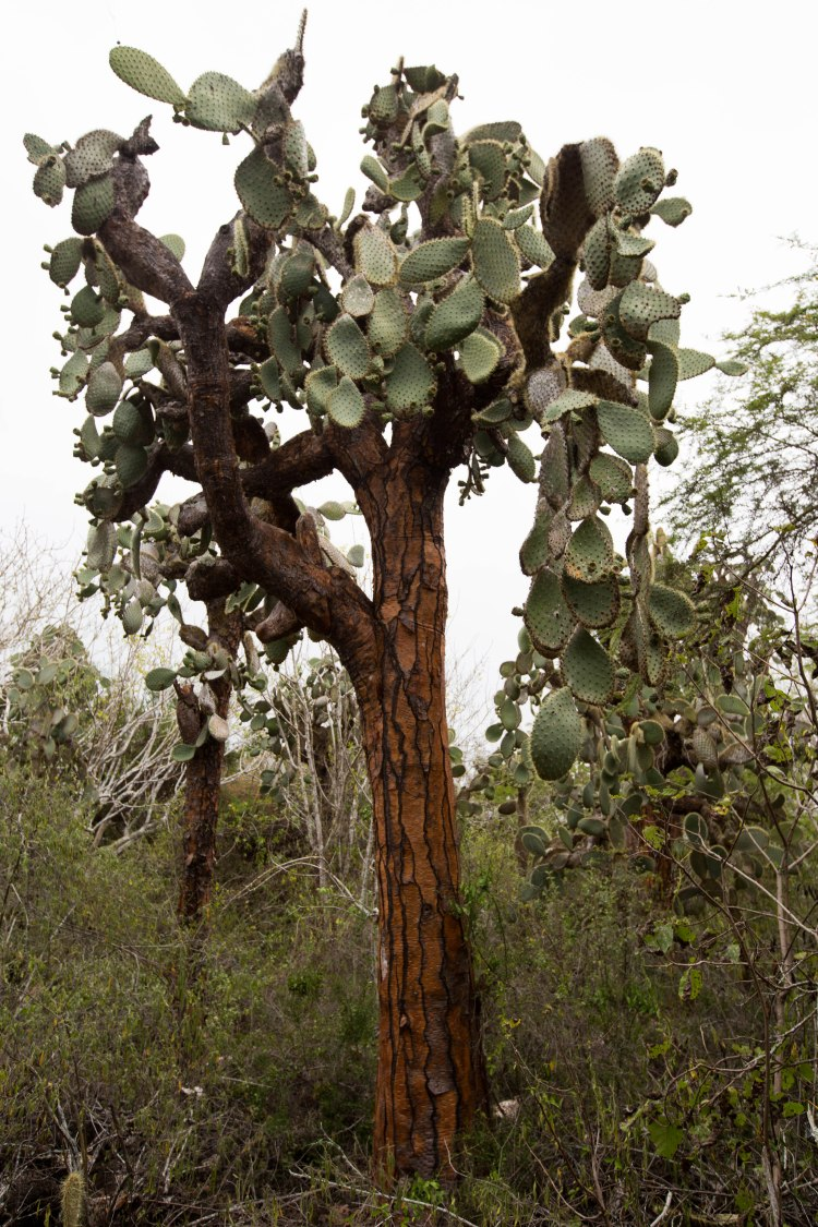 Galapagos Tree