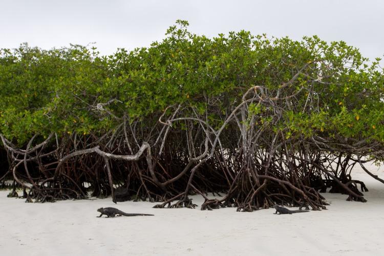 Marine Iguanas near mangroves - Tortuga Beach, Galapagos