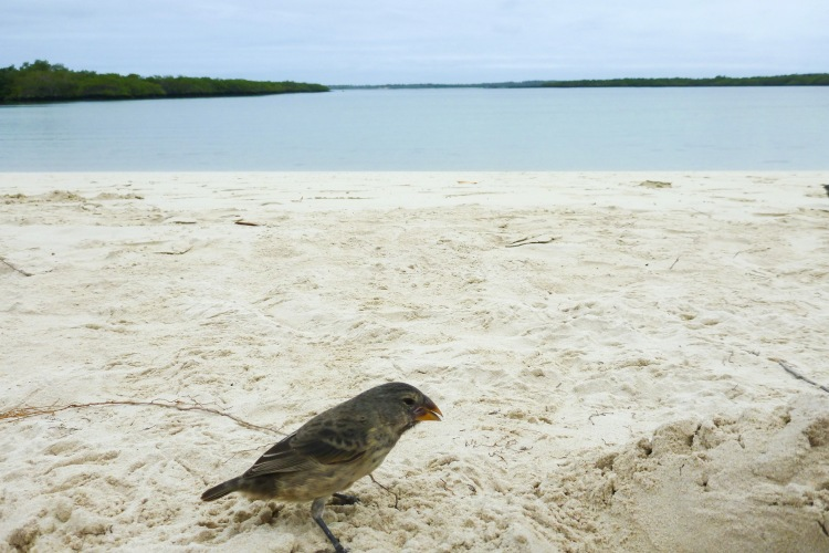 Darwin Finch, Galapagos